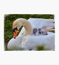 Swan and Cygnets Photographic Print
