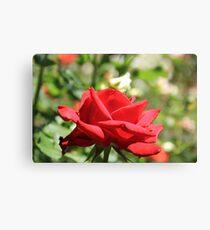 Red Rose at Queen Elizabeth Park, Print, framed print or canvas Canvas Print