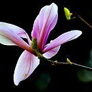 """""""Magnolia Blossom"""" by Lynn Bawden"""