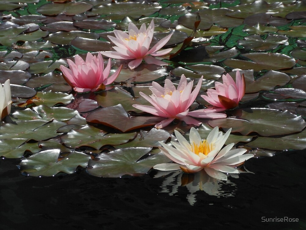 Sunlit Water Lilies and Reflections by SunriseRose