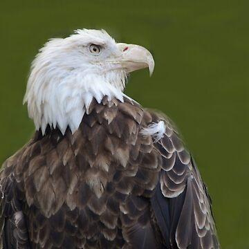 American Bald Eagle by ginawaltersdorf