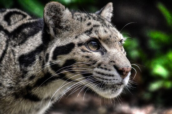 Clouded Leopard (1) by SusiBradley