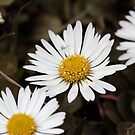 Daisies by RosiLorz