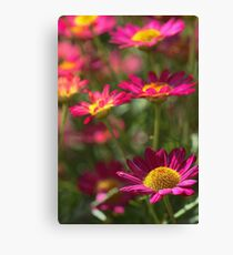 Marguerite Daisy - Madeira Red Canvas Print