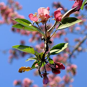 Crabapple Blossom by LMAnice