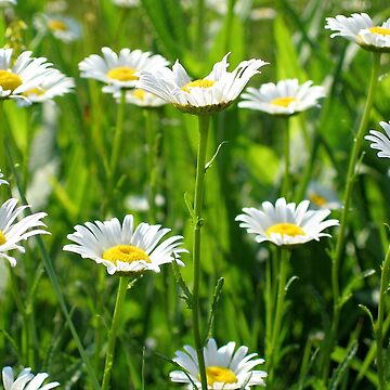 Daisies by LMAnice