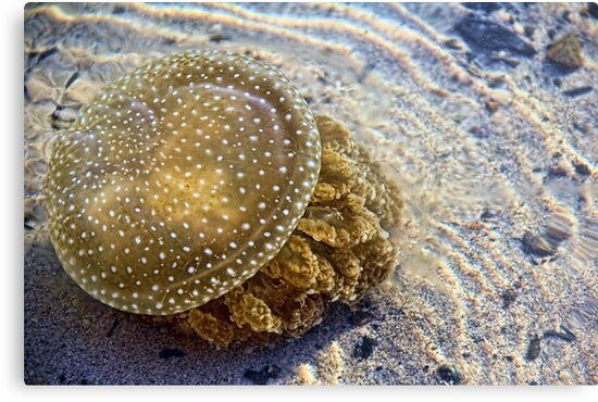 White Spotted Jelly Fish by ©Josephine Caruana