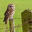 Tawny Owl on fencepost by Stephen Miller