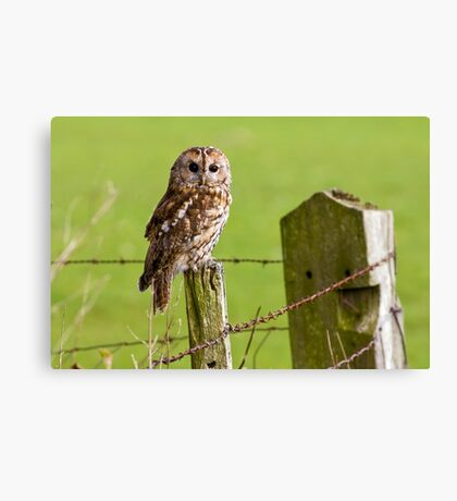 Tawny Owl on fencepost Canvas Print