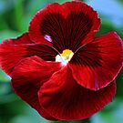 Pansy- Scarlet Petals by T.J. Martin