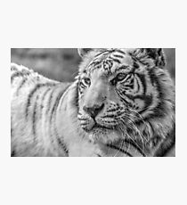 White Bengal Tiger (3) Photographic Print
