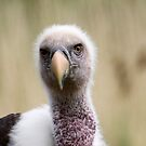 Eye to Eye - Rüppell's Vulture by Jo Nijenhuis
