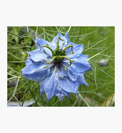 Nigella (Love in a Mist) Photographic Print