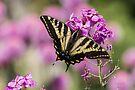 WESTERN TIGER SWALLOWTAIL BUTTERFLY by Sandy Stewart