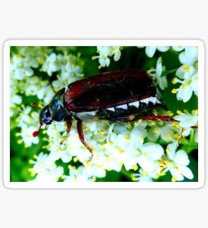 May Beetle on Elderflower Sticker
