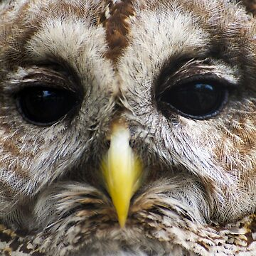 Barred Owl Close Up by FlareND