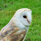 barn owl by mikeloughlin