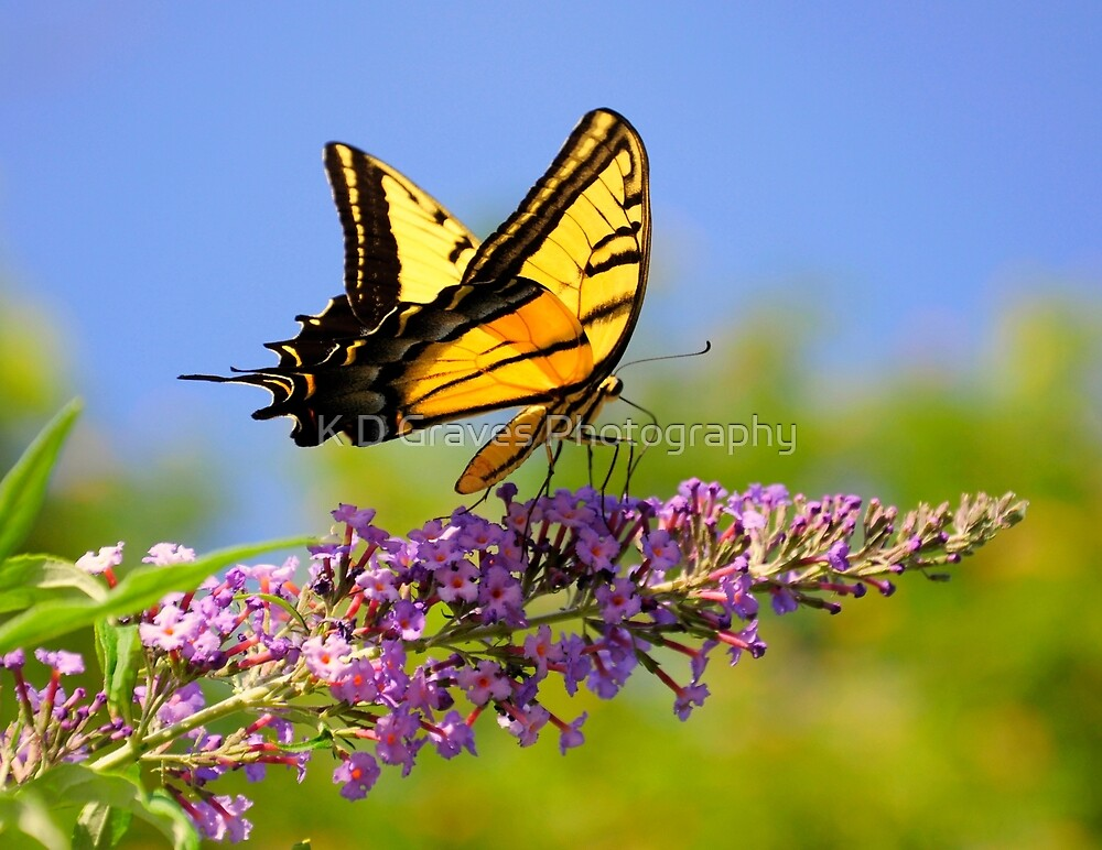 Two-tailed Swallowtail Butterfly by K D Graves Photography