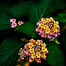 Lantana Flowers by Charuhas  Images