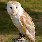 Barn Owl by Kawka