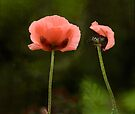 Couple Pink Oriental Poppies  by LudaNayvelt
