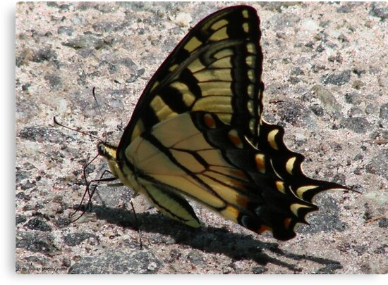Eastern tiger swallowtail (Papilio glaucus) by Jean Gregory  Evans