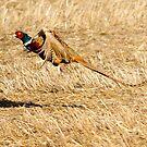 pheasant flight by George  Close
