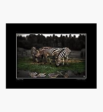 A Zeal of Zebras Poster Photographic Print