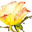 peach rose by wendywoo1972