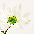 white petals by wendywoo1972