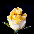yellow rose by wendywoo1972