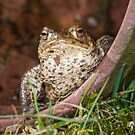 Common Toad by Stephen Miller