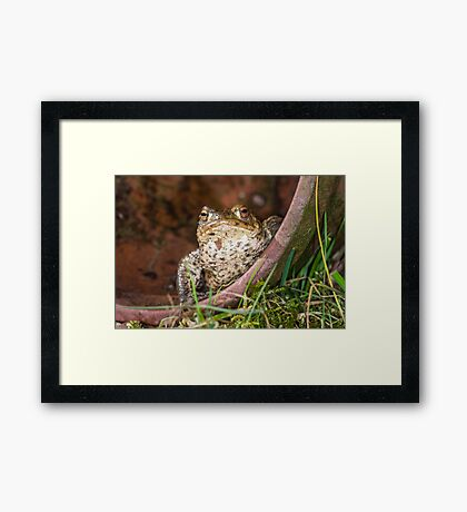 Common Toad Framed Print