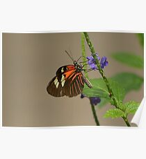 Common Cattleheart Butterfly Poster