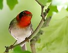 Red-faced Warbler by Dennis Cheeseman