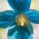 Himalayan Blue Poppy by M S Photography/Art