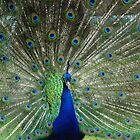 Proud as a Peacock by Johindes