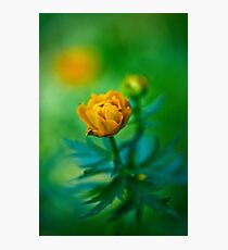 Trollius europaeus. Flowering globe flowers.  The Bush of the globe on the background of forest meadows covered with flowers. Photographic Print