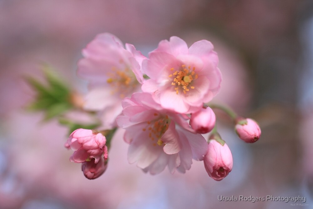 Pink Explosion by Ursula Rodgers Photography