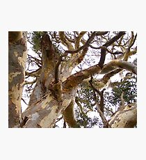 Twisting & Curling as the wind shaped the old Eucalyptus tree. Photographic Print