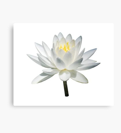 White Water Lily in Sunshine Canvas Print