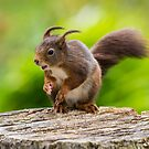 Windswept Red Squirrel by Stephen Miller