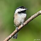 Black Capped Chickadee by Jeff Goulden