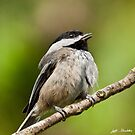 Black Capped Chickadee Singing by Jeff Goulden
