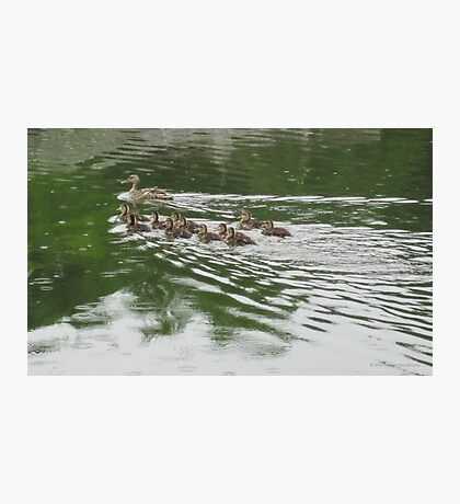 Eleven Duckling's in the Rain Photographic Print