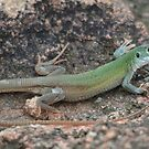 Patternless Spotted Whiptail by Kate Farkas