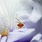 Spider suspended above Iris petals (click to enlarge) by Laurie Minor