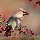 Waxwing with berry by Stephen Miller