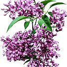 Elegant Lilacs by Susan Savad