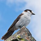 Gray Jay With Blue Sky Background by Jeff Goulden